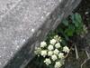 2006_sahurs_muret_fleur_blanche